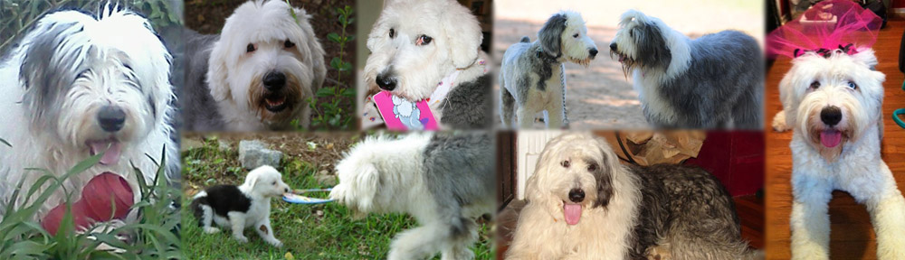 Old English Sheepdog Rescue Network of the South East